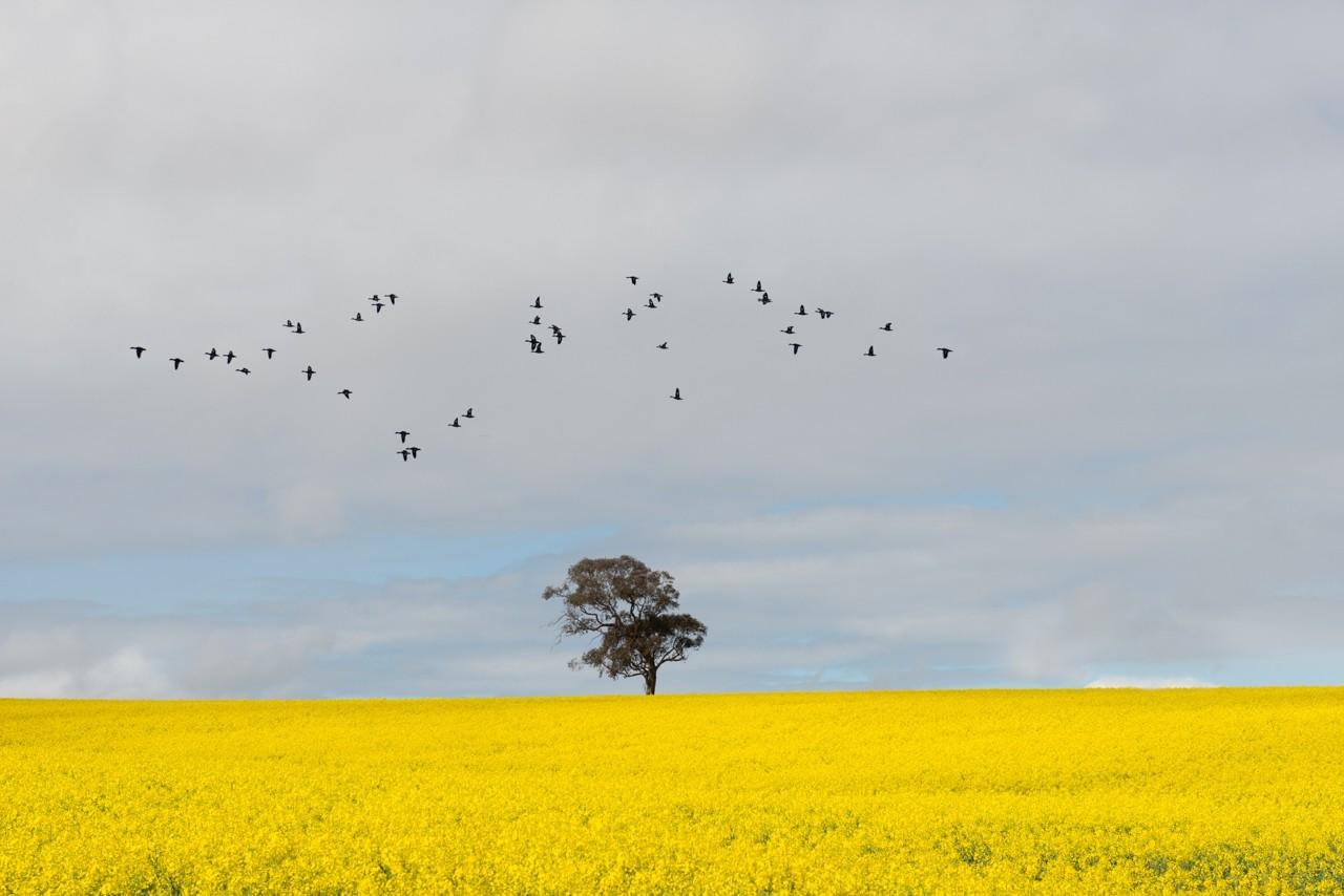 Birds flying over canola field