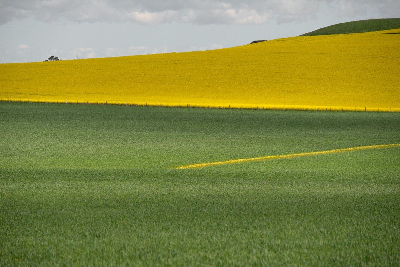 Canola and wheat field